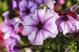 The purple flower of a petunia.