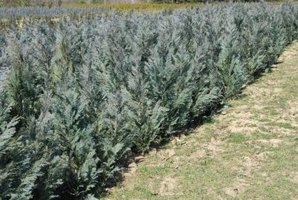 Well-nourished arborvitae provide year-round beauty.