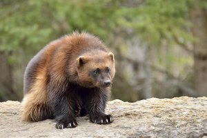 A wolverine sitting on a rock.