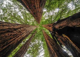 Giant sequoia trees in forest.