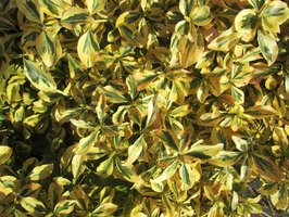 Golden euonymus is considered invasive in some areas of the U.S.
