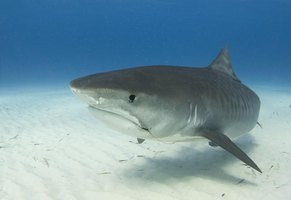 The tiger shark poses a mortal threat to most other sharks in its domain.