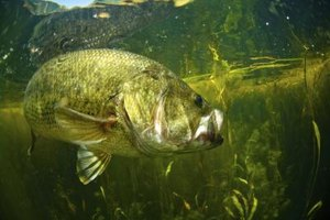 Largemouth bass are a target of anglers at many Texas state parks.