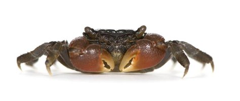 At maturity, red claw crabs mature are less than 3 inches long.