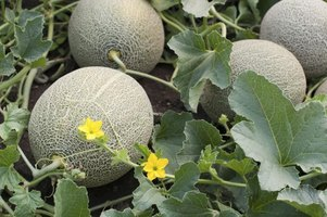 The skin of cantaloupes roughens when ripening.