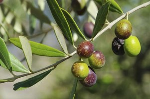 Olives growing on a branch.