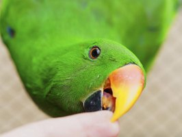 Close-up of parrot biting a finger.