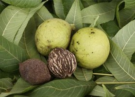Black walnuts develop inside of bright green fruits.