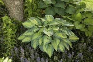 Hostas were brought to the United States in the 1800s.