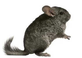 The chinchilla's blue-gray fur is extremely valuable.