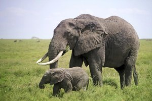 African bush elephants are the world's largest land mammals.