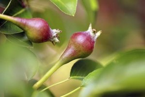 Some pear varieties thrive in Louisiana