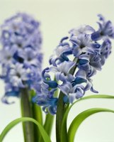Hyacinth poisoning in animals is rare, but minimizing its risk is important.