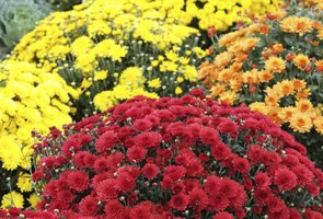 Fall-blooming mums add colorful accents to autumn landscapes.