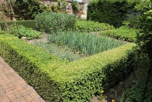 Boxwood is an evergreen bush often trimmed into hedges.