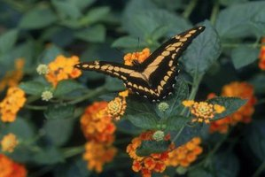 A butterfly visits a Lantana shrub in bloom.