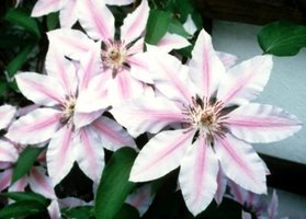 Several types of clematis often decorate nursery and garden center lots.