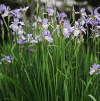 Feed iris plants properly to maximize their performance.