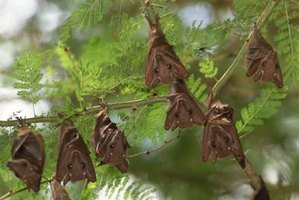 Fruit bats belong on trees rather than in your attic.