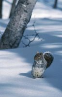A squirrel may enter your home to avoid winter weather.