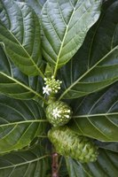 Noni juice is one of several utilized components.