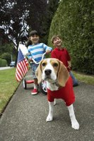 The easy-going beagle even plays 'dress-up.'