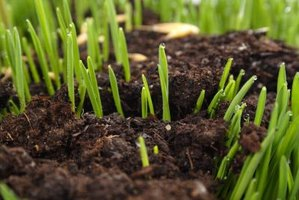 Even sprouting without bare patches is the sign of a lawn seeded correctly.