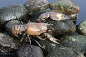 The signal crayfish (Pacifasticus leniusculus) is Washington's only native crayfish species.