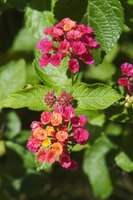 Growing a healthy lantana is easy under the right conditions.