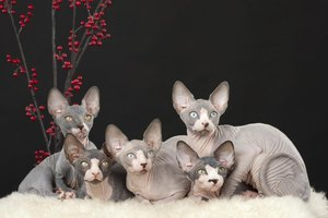 The wrinkled skin of the sphynx is soft as butter and feels like a warm chamois.