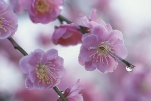 Plum trees offer ornamental spring flowers as well as tasty fruit.