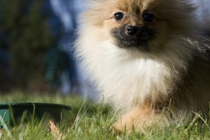 A close-up of a pomeranian next to its food dish in the yard.