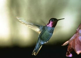 Anna's hummingbird depends on nectar from red flowering currant in the spring.