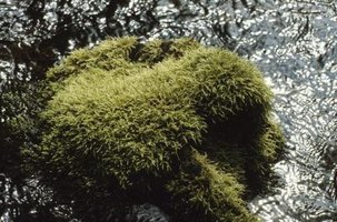 Moss belongs to the Briophata phylum.