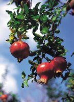 Pomegranate trees, with their narrow branches, adapt well to espaliering.
