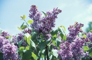 Some lilac hybrids are hardy in zone 9.