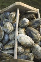 Purchase clams from your local fishmonger, or spend a day at the beach and dig them up yourself.