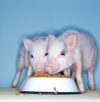 With proper nutrition and exercise, potbelly pigs can live 12 to 15 years.