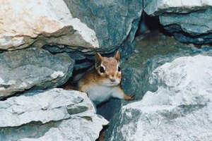 Chipmunks are not so cute when they are found dead in your yard.