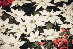 How to Revive a Pointsettia
