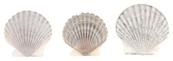 Scallop shells are perfect for the angel's body.