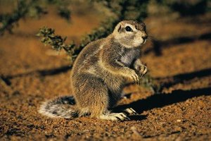 Gophers are disruptive diggers that may damage your garden.