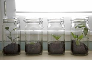 Ash tree saplings in canning jars