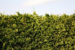 Juniper is a type of cedar hedge.