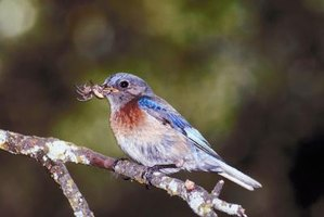 Bluebirds prefer eating insects.