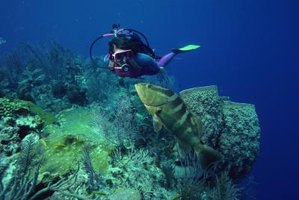Some groupers are common swimming companions for divers.