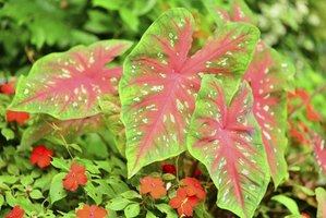 Colorful green, white, pink or red caladium leaves dress up the garden.