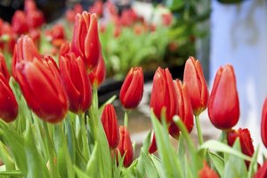 A group of red tulips.