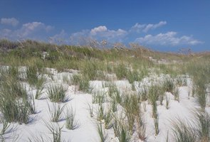 Crabgrass growing on beach