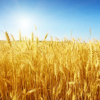 A forward contract locks in the price of some asset, such as wheat.